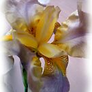 Bearded Iris  by Elizabeth Bennefeld