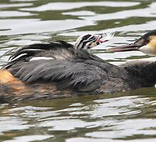great crested grebe: lovingly given by Grandalf