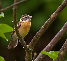 FEMALE BLACK- HEADED GROSBEAK by Sandy Stewart