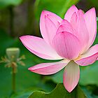 lotus by Manon Boily
