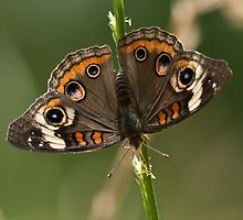 Lepidoptera by Charles Dobbs Photography