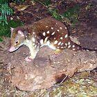 Tiger Quoll by Michael John