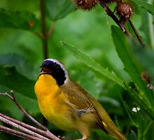 Common YellowThroat Warbler 7 by John Absher