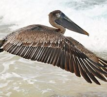 Brown Pelican by Carl LaCasse
