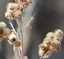 Burrs by Alyce Taylor