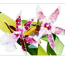 Orchid #1 - Cambria - Postcard by Michelle Bush