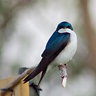 Tree Swallow at Lake Ontario by Jessica Dzupina
