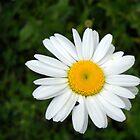 Wild Daisy at Cowan Lake by debbiedoda