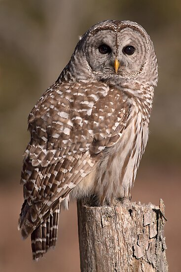 Fixated/Barred Owl by Gary Fairhead