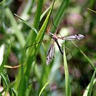 small crane fly by larry flewers