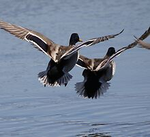 Mallards in flight by Dennis Cheeseman