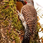 Northern Flicker (Red shafted) by Micci Shannon