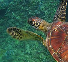 Honu by Paul Manning