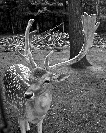 Oaklawn Deer by Scott Ruhs