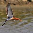 black tailed godwit flying by by Grandalf