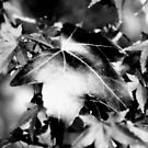 Leaves in BW by samhicks