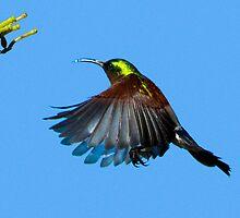 Sunbird by wildshot