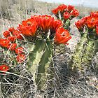 Flowering Cactus at White Sands by TheBlindHog