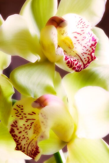 Orchid by igorsin