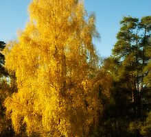 Autumn birch by igorsin