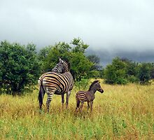 Zebra with Foal by KAREN SCHMIDT