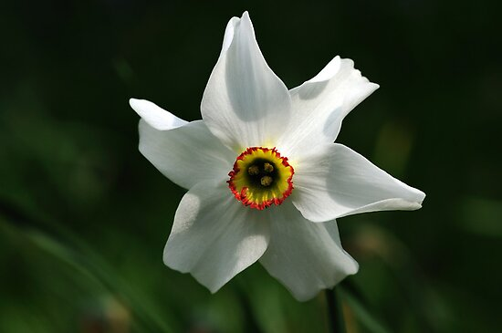 Short Cup Daffodil by Derek McMorrine