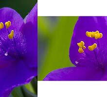 A Violet Double by Stefan Trenker