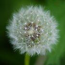 Dandelion by davesphotographics