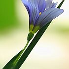 Blue-Eyed Grass - Single Blossom-- by T.J. Martin