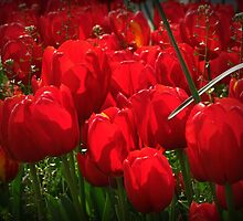 Isn't the Red  Gorgeous on the tulips? by rasim1