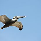 Pelican Daytona Beach Florida by eoconnor