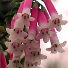 Fuchsia Heath (Epacris longiflora) by Michael Vickery