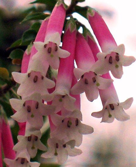 Fuchsia Heath (Epacris longiflora) by Michael John