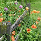 Poppies Along the Fence by sbtpots
