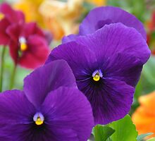 Mum's Eyes Pansies by Ann Miller