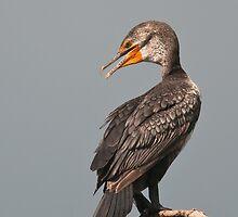 Juvenile Double-Crested Cormorant by (Tallow) Dave  Van de Laar