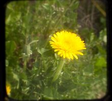 TTV Dandelion by Daniel James