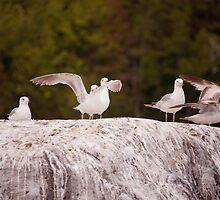 A flock of Seagulls by Josef Pittner