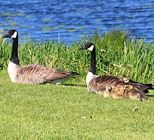 Family of Geese by HALIFAXPHOTO