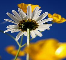 Summer Daisy by Lynn Ede