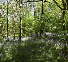 Bluebell wood 2 by JohnT