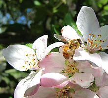 Bee on Apple Blossom by Bill Hendricks