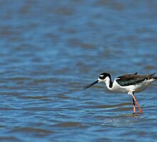 Black Necked Stilt Fishing by Michael Mill