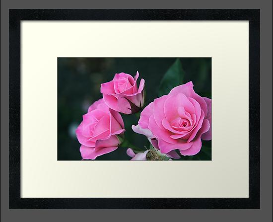 Sweet Inspiration Floribunda Rose by Robert Armendariz