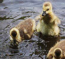 Gosling 'fans' it's wings... by Laurie Minor