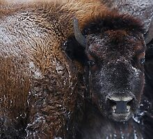 Bison IV by Shawn Hansen