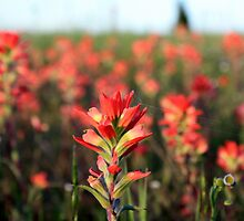 Field of Indian Paintbrush by Jennie-Hope