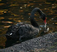 Black Swan by Wendy78