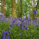 bluebells II by uncleblack