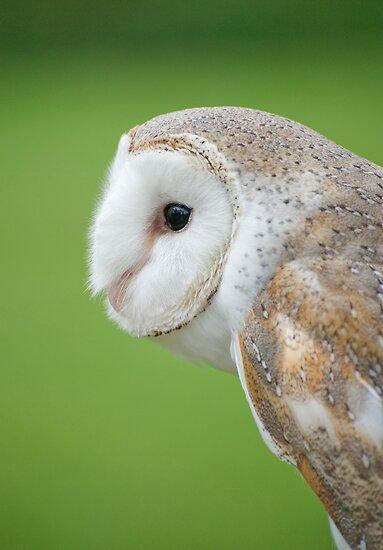 Barn Owl by Jenny Dean